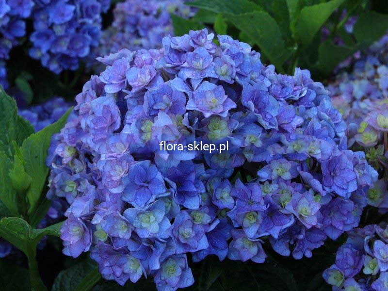 Hortensja Ogrodowa Hydrangea Together Seria You And Me Niebieska