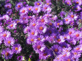 Aster krzaczasty (Aster dumosus) Purple Dome sadzonka 7