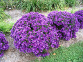 Aster krzaczasty (Aster dumosus) Purple Dome sadzonka 4