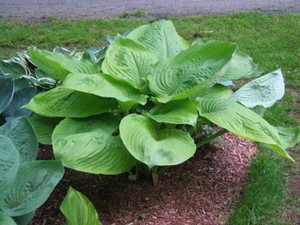 Funkia (Hosta) Sum and Substance sadzonka