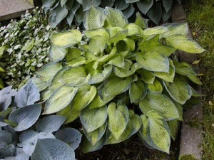 Funkia (Hosta) Bright Lights sadzonka