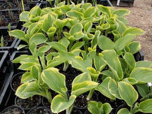 Funkia (Hosta) Clifford's Forest Fire sadzonka