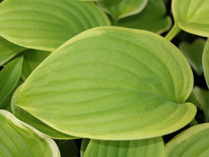 Funkia (Hosta) Fragrant Bouquet sadzonka