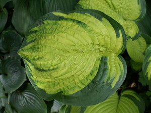 Funkia (Hosta) Dick Ward sadzonka