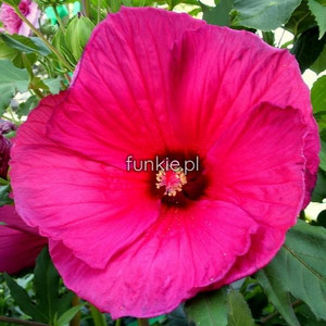 Hibiskus bylinowy (Hibiscus moscheutos) Sultry Kiss c1