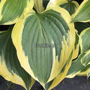 Funkia (Hosta) Broad Band sadzonka