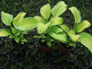 Funkia (Hosta) George Smith sadzonka
