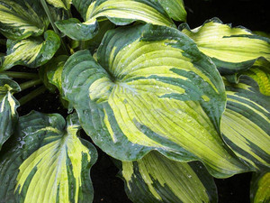 Funkia (Hosta) Guardian Angel sadzonka