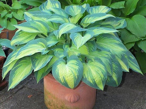 Funkia (Hosta) June sadzonka
