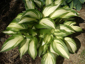 Funkia (Hosta) Sea Thunder sadzonka