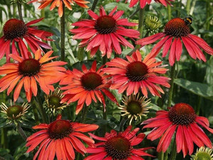 jeżówka purpurowa - Echinacea Hot Summer