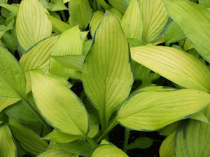 Funkia (Hosta) Midwest Magic sadzonka