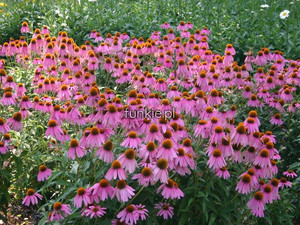 jeżówka purpurowa - Echinacea Red Knee High