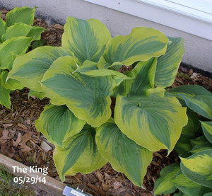 Funkia (Hosta) The King sadzonka
