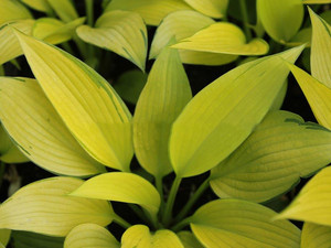 Funkia (Hosta) June Fever sadzonka