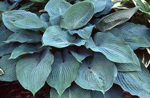 Funkia (Hosta) Blue Angel c2