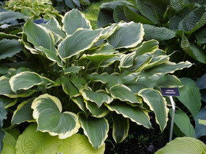 Funkia (Hosta) Lakeside Ring Master sadzonka