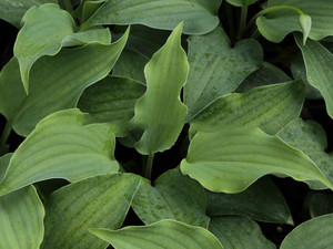 Funkia (Hosta) Sky Dancer sadzonka