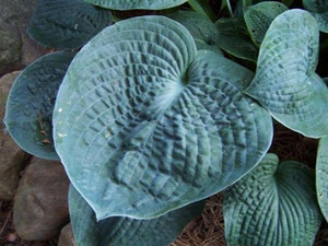 Funkia (Hosta) Big Daddy sadzonka