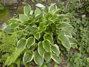 Funkia (Hosta) So Sweet sadzonka