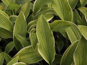 Funkia (Hosta) Alex Summers sadzonka