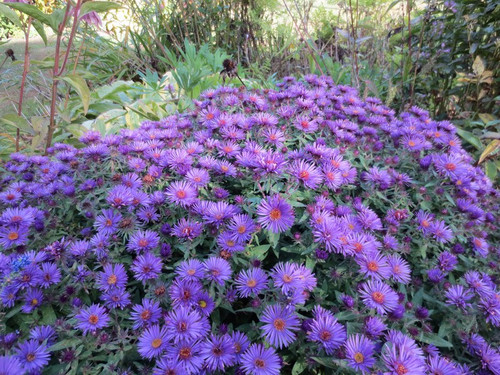 Aster krzaczasty (Aster dumosus) Purple Dome sadzonka 5