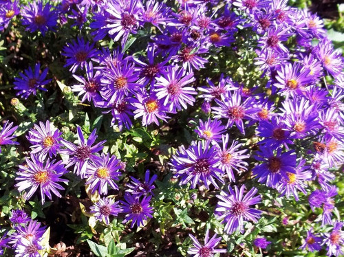 Aster krzaczasty (Aster dumosus) Purple Dome sadzonka 6