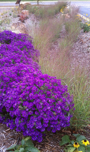 Aster krzaczasty (Aster dumosus) Purple Dome sadzonka 3